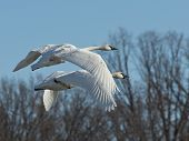 stock photo of trumpeter swan  - Pair of flying Trumpeter Swans on a cold winter day - JPG