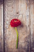 stock photo of buttercup  - One red buttercup flower lies on an old wooden board - JPG