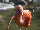 foto of scarlet ibis  - Scarlet Ibis looking at cameraman while taking pictures.