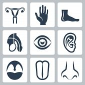 foto of uterus  - Vetor external organs and reproductive system icons set - JPG