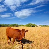 stock photo of moo-cow  - Menorca brown cow grazing in golden field near Ciutadella at Balearic islands - JPG