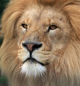 stock photo of african lion  - Portrait of a beautiful male African Lion in close up - JPG