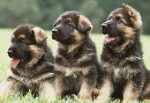 stock photo of german shepherd dogs  - Three six weeks old pure breed german shepherd dog puppies in a row - JPG