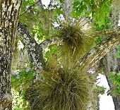 foto of tillandsia  - Airplants (Bromeliads) and Spanish moss in central Florida trees. Many air plants are threatened or endangered due to a non-native beetle.