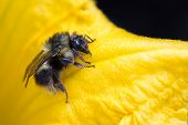 picture of bumble bee  - close up of a bumble bee crawling on a yellow squash flower  - JPG