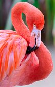 stock photo of pink flamingos  - Pink flamingo posing at a zoo for the visitors - JPG