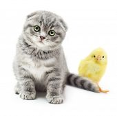 picture of portrait british shorthair cat  - Kitten and cute little chicken on white background - JPG