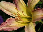 Day Lily Blossom poster