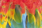 foto of green-winged macaw  - Macaw feathers background - JPG