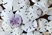 stock photo of sand dollar  - Stack of sand dollars background - JPG