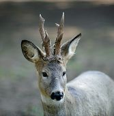 picture of roebuck  - The roe deer with horns is situated against the blur nature background - JPG