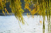 foto of weeping  - Weeping willow branches close to the lake in autumn are moved by the wind - JPG