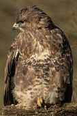 image of buzzard  - Common Buzzard on Branch - JPG