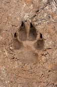 stock photo of paw  - Dogs single paw print on the sand - JPG