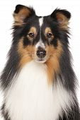 foto of sheltie  - Shetland sheepdog in front of white background - JPG