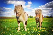 picture of pony  - Summer country landscape with two shetland ponies - JPG