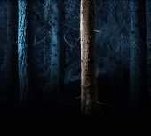 picture of conifers  - Forest with conifers in spooky evening light - JPG