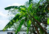 image of banana tree  - A banana tree growing on the side of the Co Chien River in Vinh Long Vietnam - JPG
