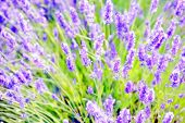 picture of wildflowers  - Closeup on beautiful gentle lavender flower on blurry purple background soft focus violet wildflower summer time nature - JPG