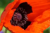 image of rare flowers  - Beautiful poppy flower in a botanical garden
