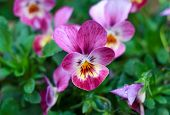 stock photo of violets  - Violet - JPG