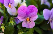 picture of violet flower  - Violet - JPG