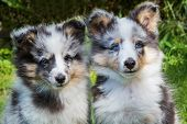 stock photo of sheltie  - Portrait of two young sheltie dogs sitting in grass - JPG