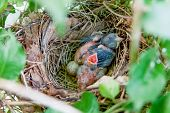 foto of cardinals  - Two Northern Cardinal chicks wait to be fed in their nest - JPG