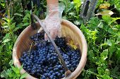 foto of moscato  - Harvest in October Oltrepo Pavese italy barbera - JPG