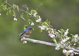 foto of bluebird  - Male Eastern bluebird perched in pink blossoms - JPG