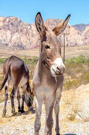 image of burro  - An image of wild burros in the desert southwest of Nevada - JPG