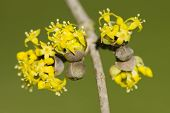 stock photo of tropical plants  - Small yellow flowers of tropical plant in full bloom - JPG