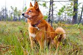 stock photo of swamps  - hunting dog Finnish Spitz on the swamp - JPG