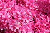 stock photo of geranium  - Pelargonium geranium group bright cerise many pink flowers - JPG