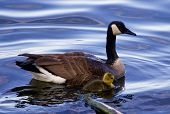 stock photo of mother goose  - The mother - JPG