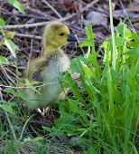 image of mother goose  - Cute cackling goose chick is eating the green grass