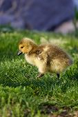 picture of mother goose  - Cute chick is on its way to the hill - JPG