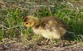 stock photo of mother goose  - Cute young cackling goose is going somewhere - JPG
