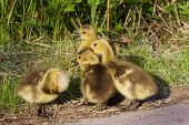 picture of mother goose  - Strong reaction on something by a group of young geese - JPG