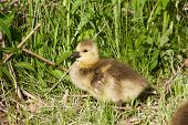 pic of mother goose  - Cute chick is taking the sunbath on the grass - JPG