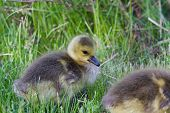 picture of mother goose  - Beautiful chick is eating the green grass - JPG