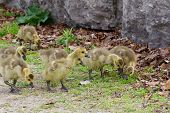 picture of mother goose  - Funny young chick is imitating the big cackling geese behavior - JPG