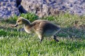 picture of mother goose  - The young goose is going somewhere through the grass - JPG