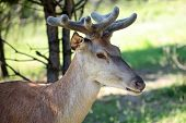 stock photo of mule deer  - Young brown deer with beautiful antlesr standing in profile in forest with green grass on natural background horizontal picture - JPG
