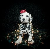 image of christmas puppy  - Silly Dalmatian puppy tangled in Christmas lights with a red bow on his head - JPG