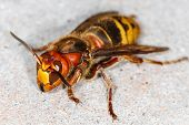 picture of vespa  - close up of European hornet  - JPG