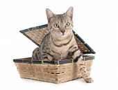 picture of bengal cat  - bengal cat silver in front of white background - JPG