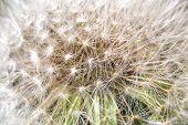 foto of dandelion seed  - Closeup of White Dandelion Full With Seeds - JPG