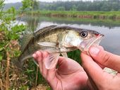 picture of fishermen  - Freshly caught zander - JPG