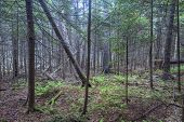 picture of fern  - Interior of dense forest with tall pines fallen pines ferns and moss in coastal Maine of the northeastern United States - JPG